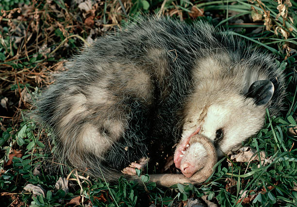 Come va con l'opossum
